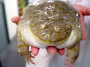 Большая жаба